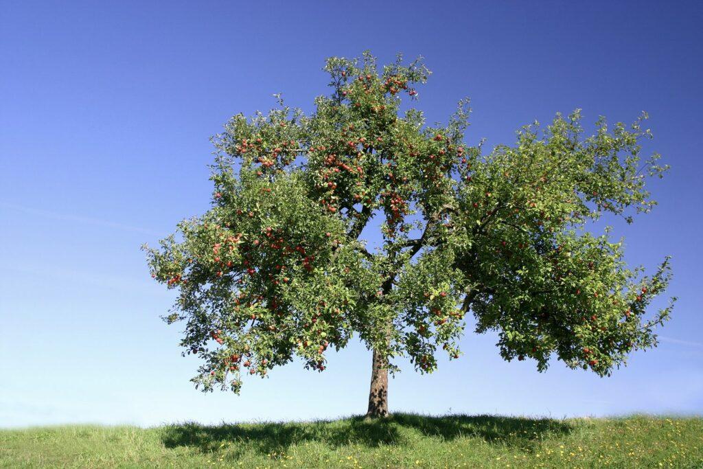Apfelbaum als Hochstamm