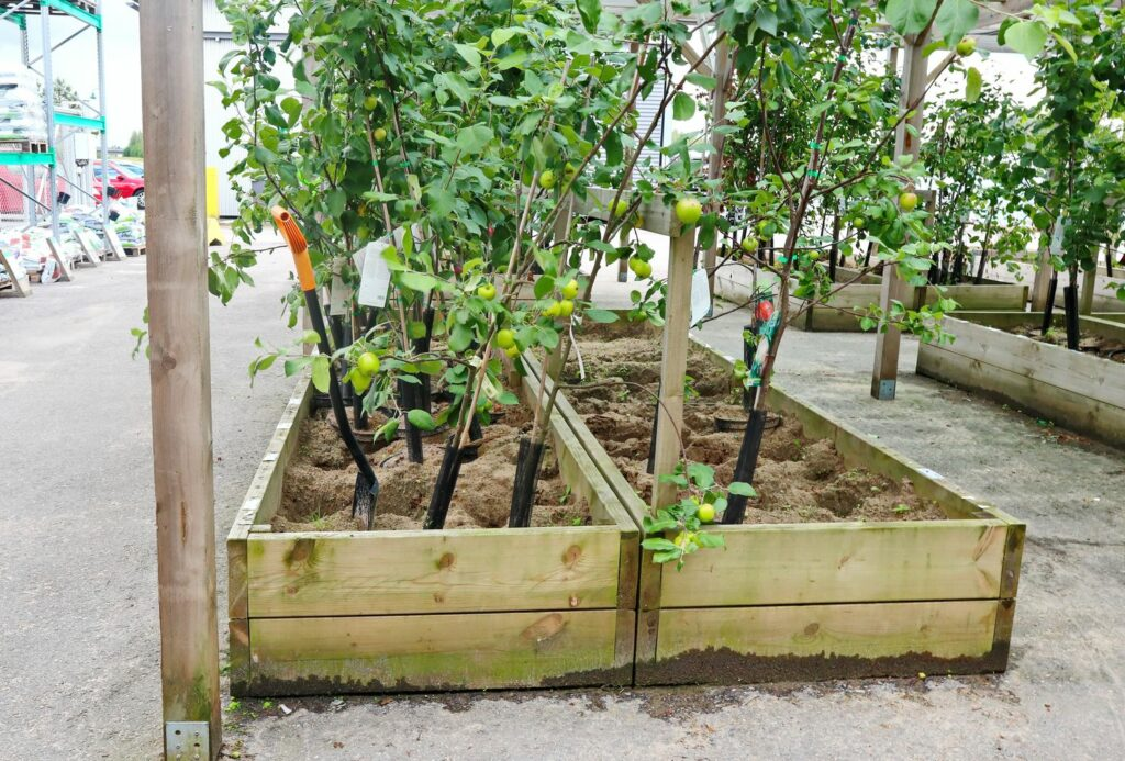 junge Apfelbäume