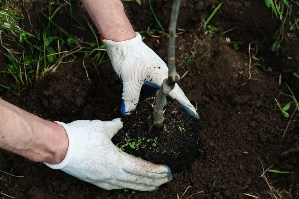 Apfelbaum einpflanzen mit Händen in Erde
