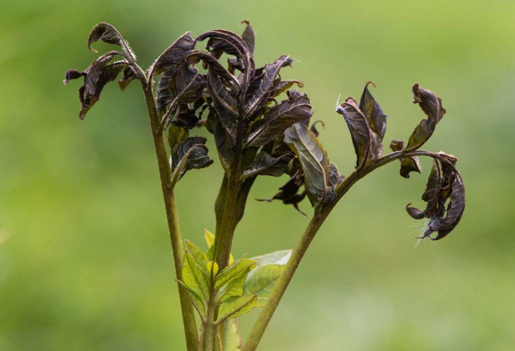 befallene Blätter Eschentriebsterben