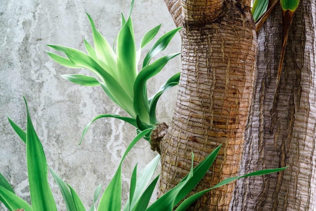 Drachenbaum Spross am Stamm