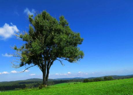 Esche Mit Beginnendem Triebsterben Auf Einer Wiese Mit Blauem Himmel