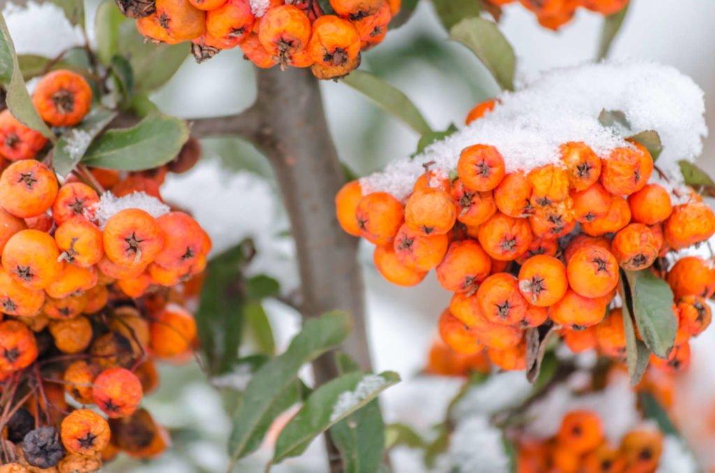 Feuerdorn mit orangen Beeren im Schnee