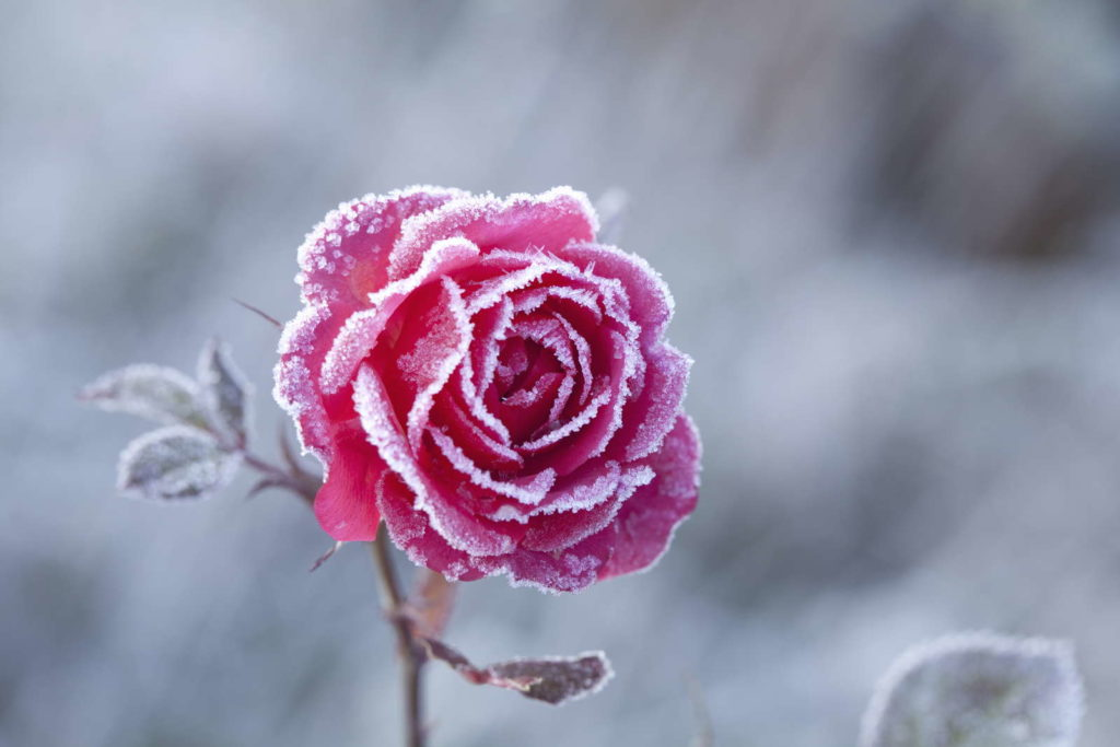 Rose mit Frost