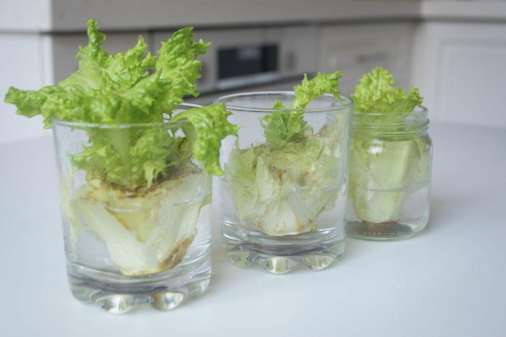 Salat Regrowing