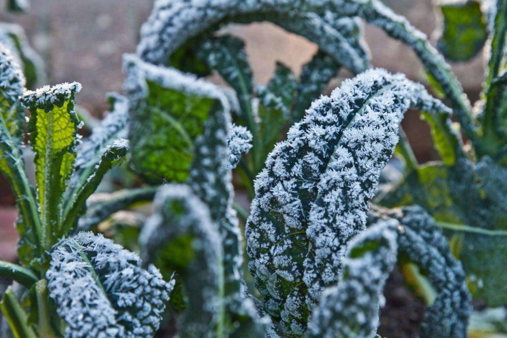 Frost auf Grünkohl