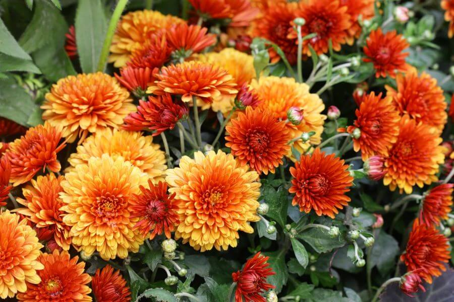 Orange Herbst-Chrysanthemen