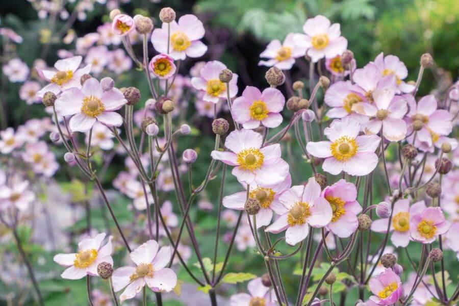 Rosa Herbst-Anemonen