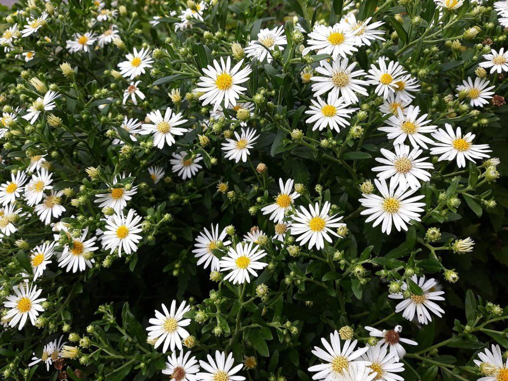 Weiße Herbstastern im Garten