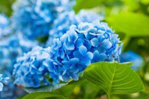 Hortensien Mit Blauen Blüten