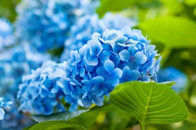 Hortensien blau färben: Der richtige Dünger & Tipps zum Einfärben