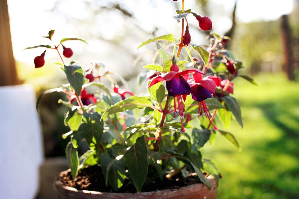 kleine Fuchsie im Topf in einem Garten