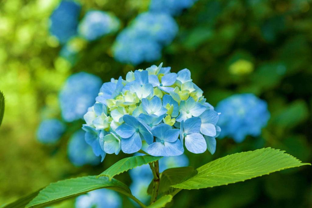 kleine Hortensie einzeln Blüten mit weiteren Hortensien im Hintergrund