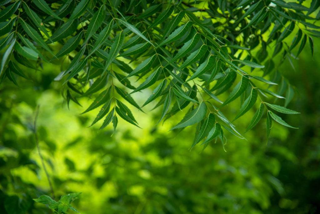 grüner Niembaum mit vielen Blättern