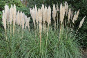 Pampasgras zurückschneiden: Schnitt-Tipps vom Experten