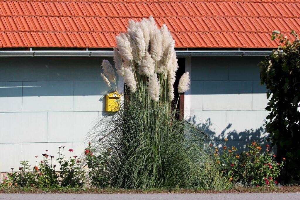 Sehr hoch-wachsendes Pampasgras vor einem Haus