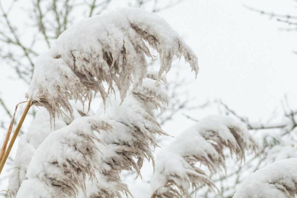 Pampasgras mit Schnee bedeckt