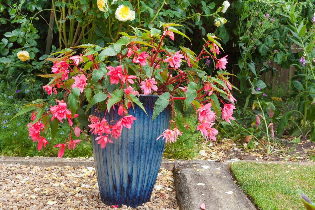 rasa Fuchsien in Topf blau im Garten