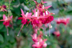 Fuchsie Mit Rosa Blüten