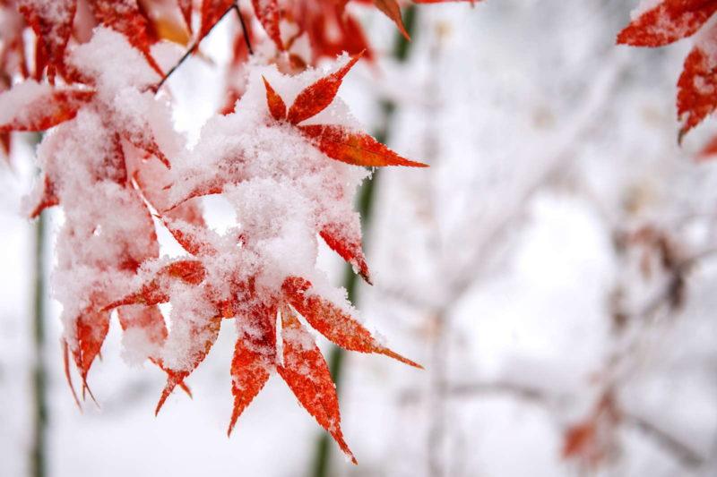 Roter Ahorn Mit Schnee Im Garten