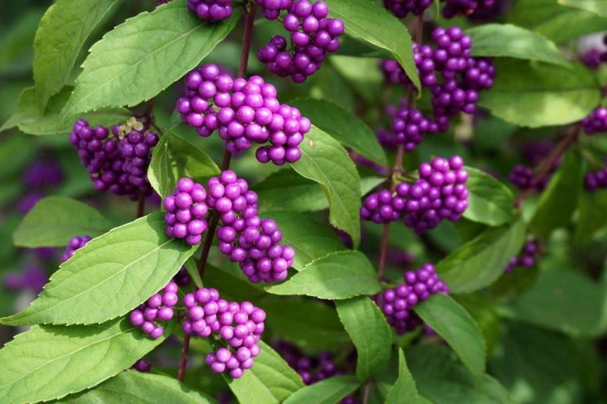 Schönfrucht mit lila Beeren