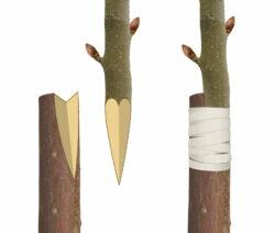 Seitliches Einspitzen Bei Baumveredelung