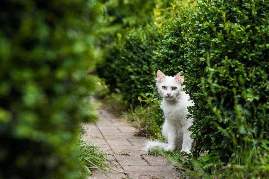 Weiße Katze vor Buchsbaum im Garten