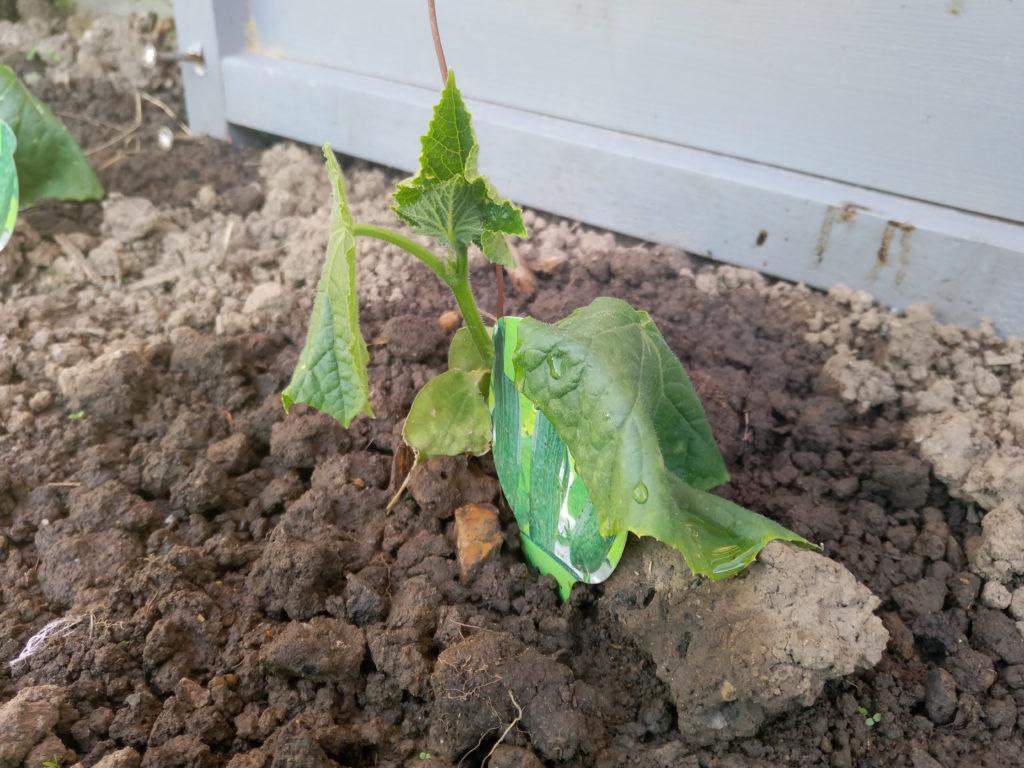 Pythium befällt Gurkenpflanze