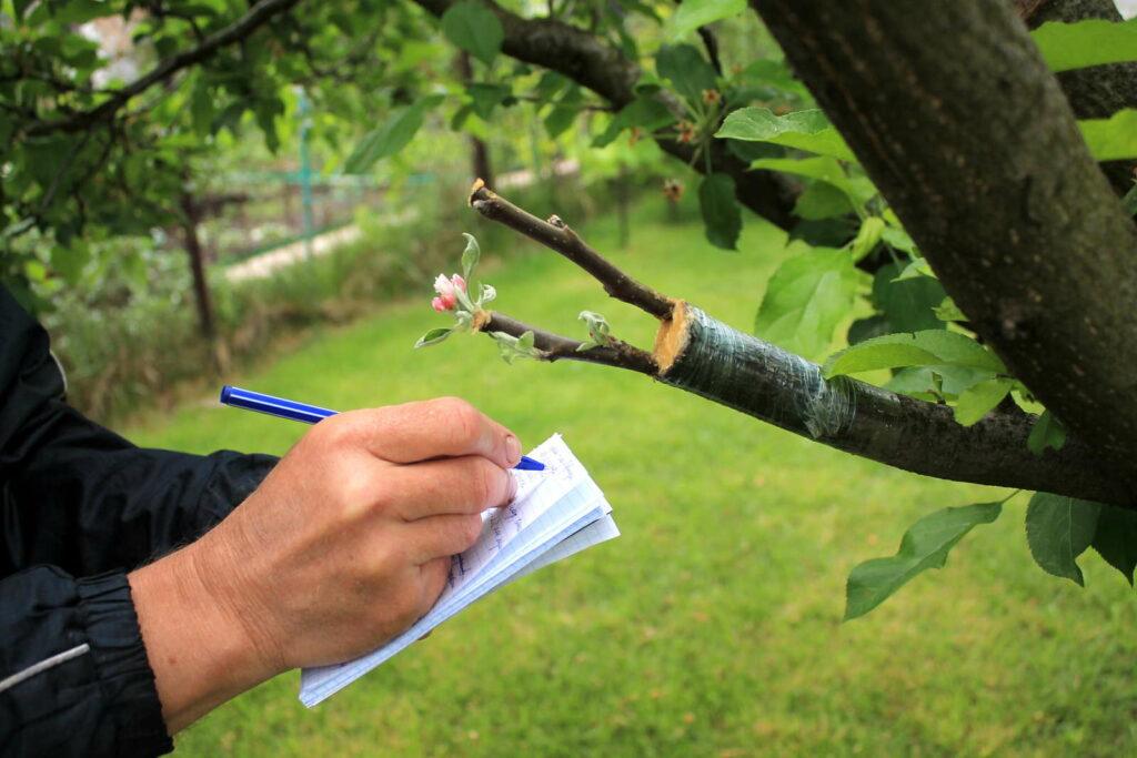 Mann macht sich Notizen während Apfelbaumveredlung