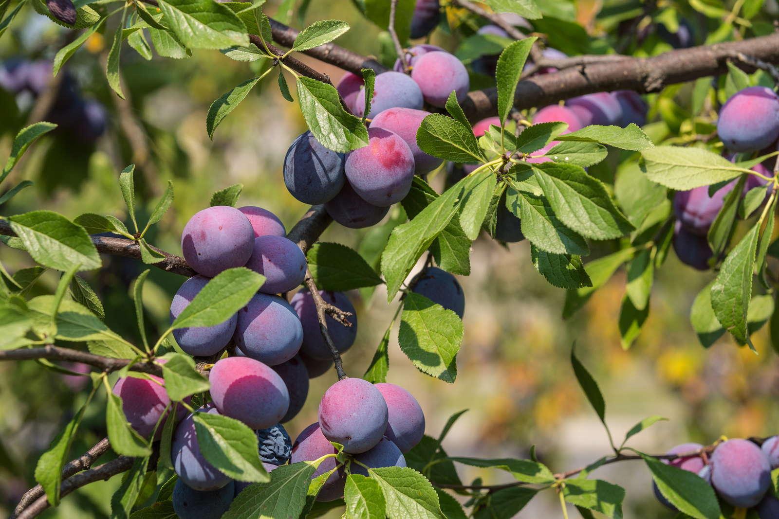 Gut gemocht Pflaumenbaum: Alles vom Pflanzen & Pflegen bis hin zum Schnitt YP81