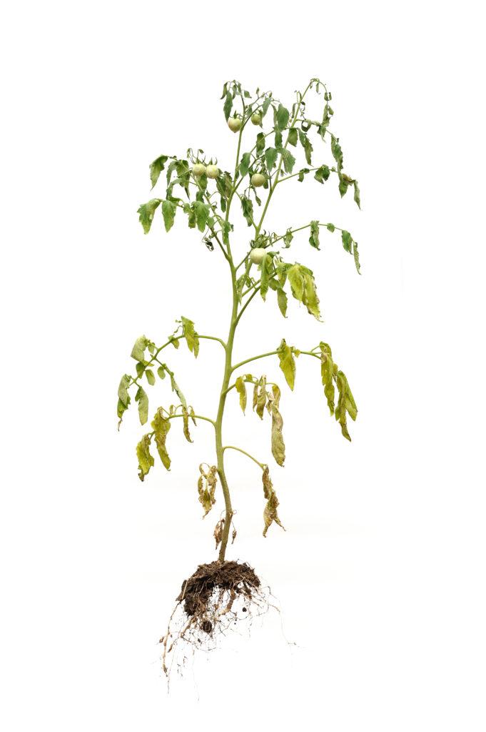 Verwelkte Tomatenpflanze durch Pilzbefall