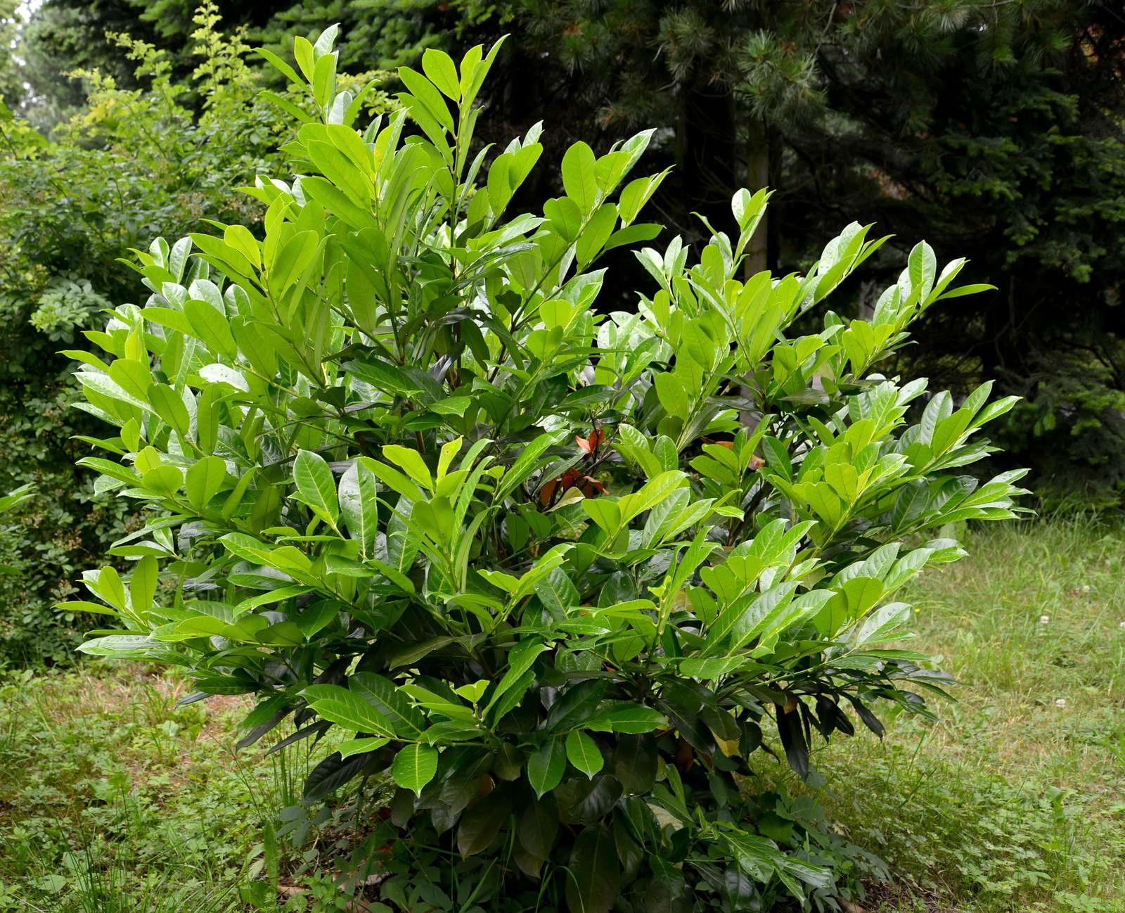 Prächtig Kirschlorbeer vermehren: Tipps & Anleitung vom Profi - Plantura @GJ_78