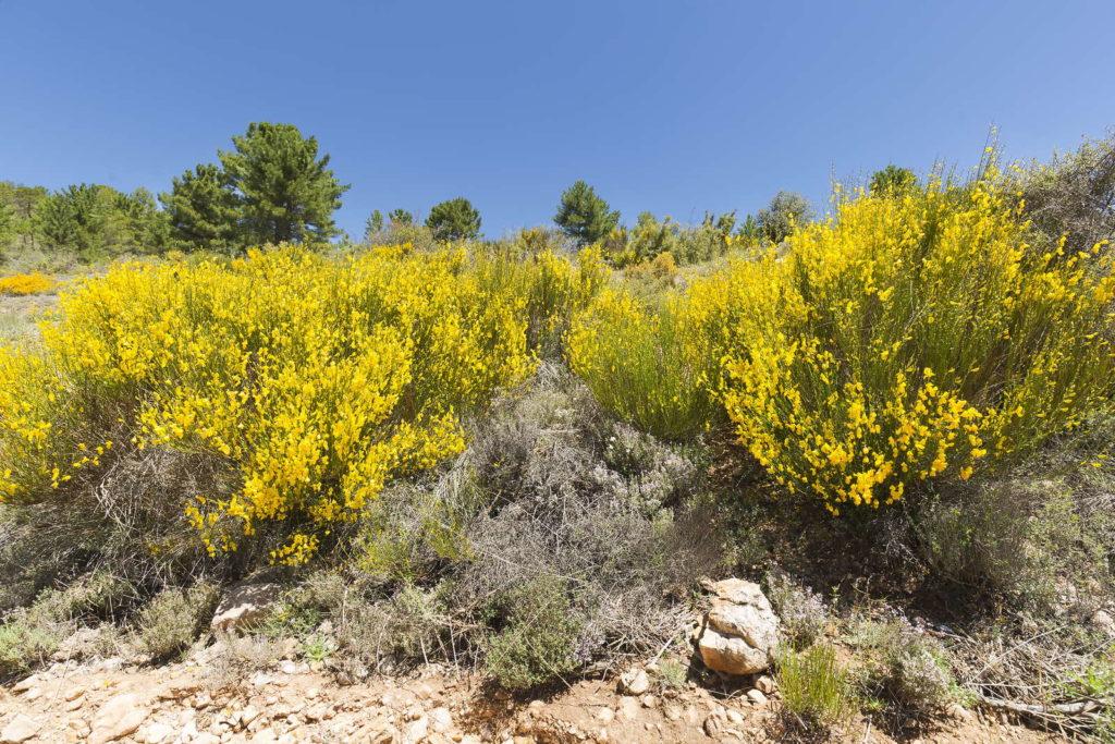 Blühender Ginster in mediterranem Gebiet