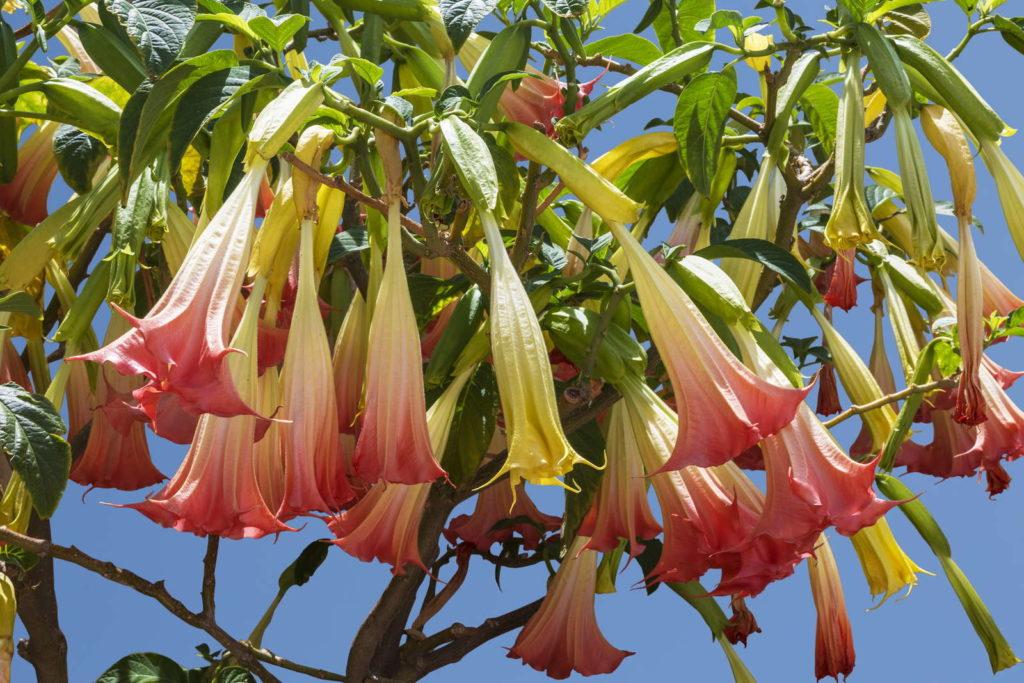 Blüten der Engelstrompete