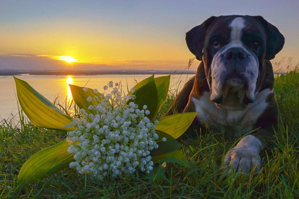 Hund liegt neben Maiglöckchen auf einer Wiese an einem See
