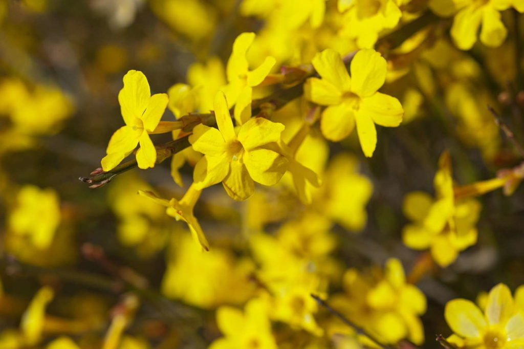 Gelb-blühender Winterjasmin
