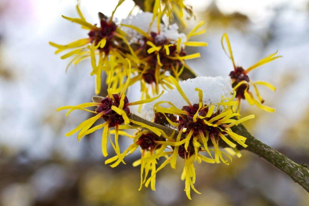 Zaubernuss mit gelber Blüte im Schnee