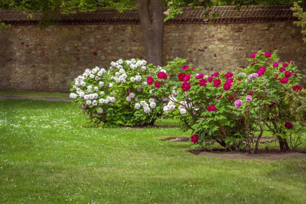 Pfingstrosenbüsche im Garten