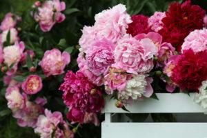 Blütenpracht Der Pfingstrose