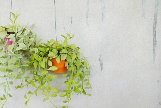 Hängepflanzen: 10 schwer zu tötende Hängepflanzen fürs Zimmer