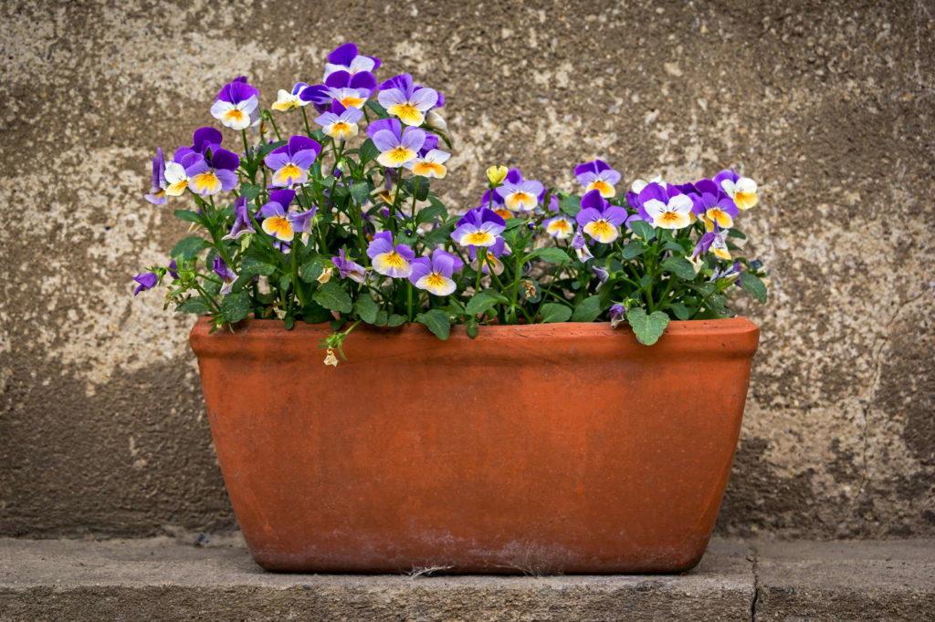Blühende Hornveilchen in Blumentopf als Kübelpflanze