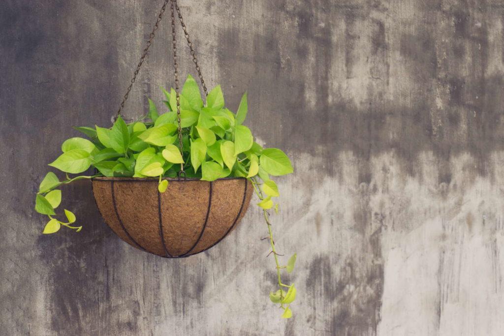 Efeutute in hängendem Blumentopf