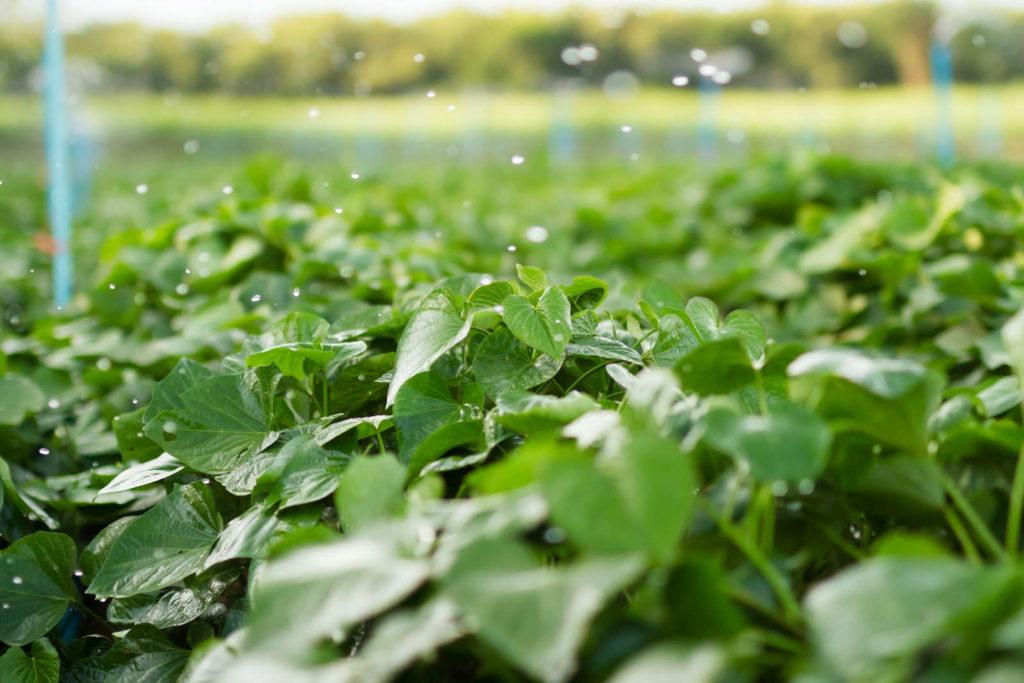 Süßkartoffelanbau Wasserverbrauch