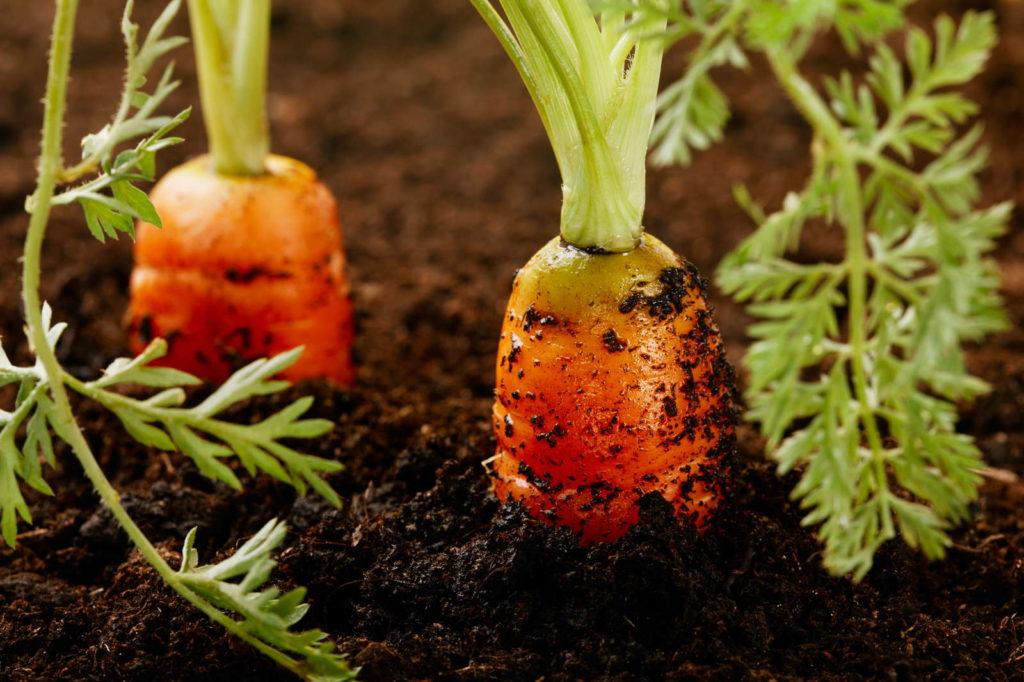 Karotten anbauen in Beet