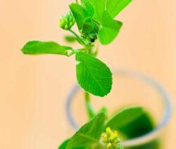 Gelbkleepflanze