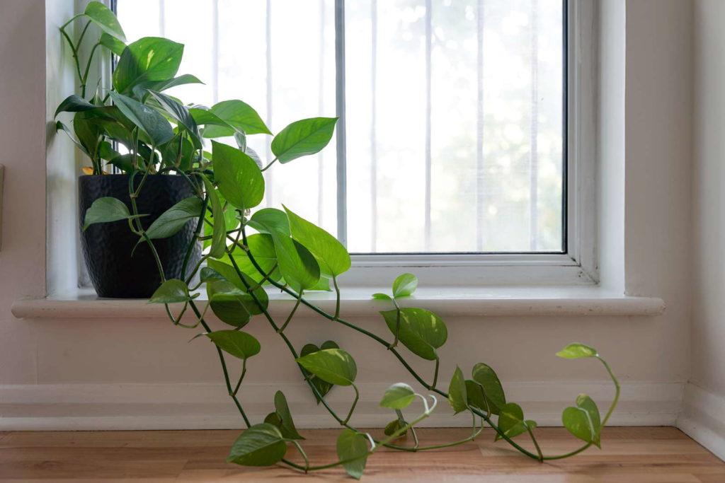 Kletter-Philodendron auf Fensterbank