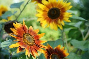 Bunte Sonnenblumen Im Garten
