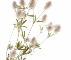 Hasenkleepflanze