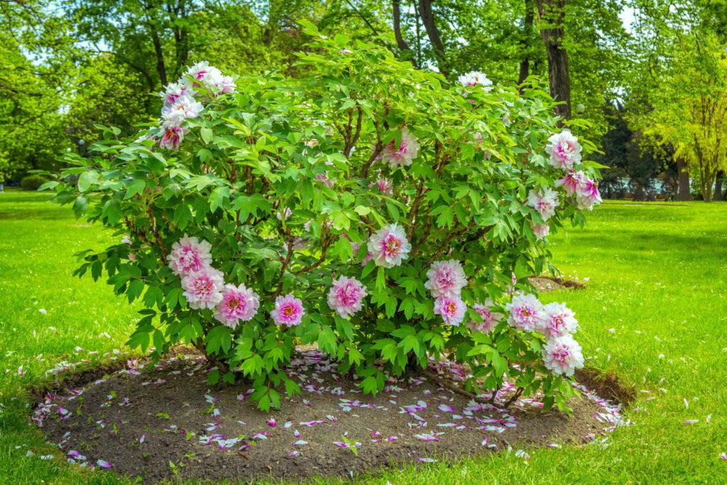 Blühender Pfingstrosenstrauch im Garten