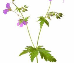Wiesenstorchschnabelpflanze